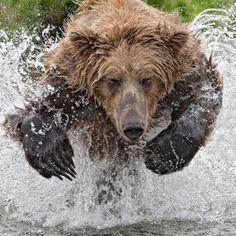 Charles Glatzer  Charging bear