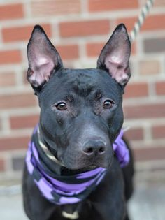 ♡ SAFE ♡ TO BE DESTROYED 02/03/15-Brooklyn Center VICTOR - A1025978 MALE, BLACK / WHITE, AM PIT BULL TER / LABRADOR RETR, 2 yrs OWNER SUR - EVALUATE, NO HOLD Reason MOVE2PRIVA