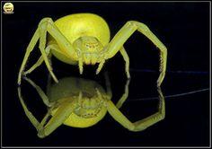 Örümceğin vücudu başlı-göğüs (sefalotoraks) ve karın olarak,iki bölüme ayrılmıştır.Başlı göğüste sekiz göz;sekiz bacak,iki zehir çengeli,iki duyu ayağı vardır.Yumuşak ve esnek olan karnın alt bölümünde iplik delikleriyle solunum sisteminin delikleri bulunur.Sefalotoraks ve karın,pedonkül adı verilen çok ince bir boruyla birleşir.Hiçbir canlının beli örümceğinki kadar ince değildir.1mm.'den daha dar olan bu borunun içinden sindirim borusu,kan damarları,soluk boruları ve sinir sistemi geçer