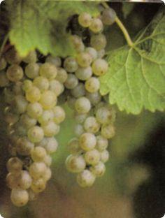 Nei primi piatti potremo orien-tare la nostra preferenza verso vini rosati morbidi e vellutati come un Montepulciano d'Abruzzo nella versione Cerasuolo oppure un Ciliegiolo del Golfo del Tigullio, in Liguria