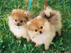 These adorable poms