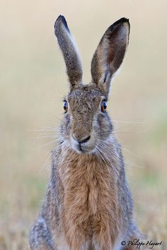 Portrait of hare - by Philippe Hayart. Wild and wise looking...
