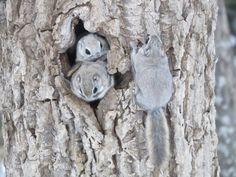 エゾモモンガ Cute Squirrel, Baby Squirrel, Animals For Kids, Animals And Pets, Japanese Dwarf Flying Squirrel, Rare Animals, Fluffy Animals, Rodents, Animals Beautiful