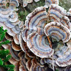 Turkey Tail Mushroom: The Disease-Fighting, Immune-Boosting Fungus