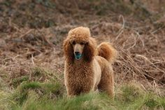 This dog has to be the most photographed of all my dogs. He just loves the camera! Very photogenic young man that loves life and lives it with joy and happiness. Red Poodles, Standard Poodles, Little People, Puppy Love, Paradise, Doodles, Puppies, Brown, Board