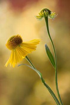 Golden heleniums by Mandy Disher on Flickr.