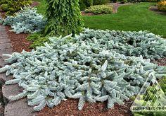 rozteklé smrky Picea pungens 'Procumbens'