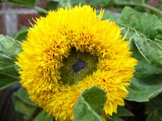 giant sunflowers   Sunflowers are one of my favourite flowers - they're so cheerful. I ...
