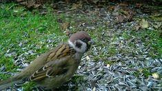 Põldvarblane / Passer montanus / Eurasian tree sparrow / P… | Flickr Garden Birds, Label, Facebook, Search, Trail, Searching