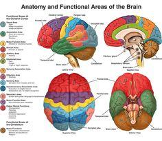 Brain Anatomy.