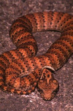 Death Adder is one the 10 deadliest terrestrial snakes in the world. It is native to Australia.