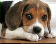 Cute Puppies, Cute Dogs, Dogs And Puppies, Doggies, Animals And Pets, Baby Animals, Cute Animals, Beagle Breeds, Beagle Puppy