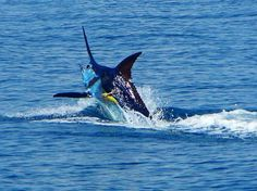 Blue Marlin fishing in Madeira the best in the world