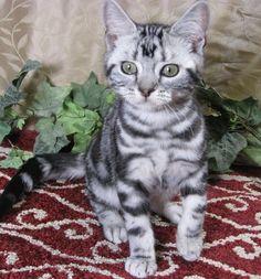 British Shorthair Kittens For Sale Kittenspussyfunny.com ...