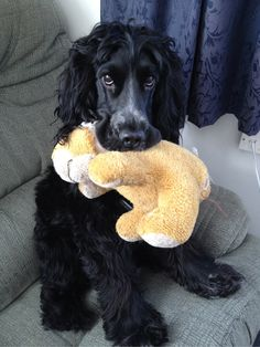 My beautiful English Cocker Spaniel Mika and his favorite toy