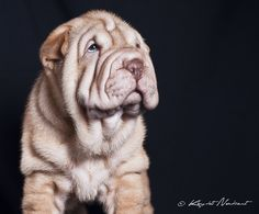 shar pei puppies Of Exclusive and Limited Edition - Qi Ming Xing shar pei kennel - Picasa Web Albums