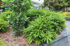 Retail Garden Centre in Brisbane's West. Cardamom Plant, Foliage Plants, Tropical Garden, Back Gardens, Brisbane, Evergreen, Shrubs, Nursery, Backyard