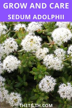 Sedum Adolphii (Golden Glow) You will love this plant. Types Of Succulents, Succulent Care, Glow, Plants, Gardening, Lawn And Garden, Plant, Sparkle, Planets