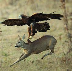 Golden eagle attacks a deer