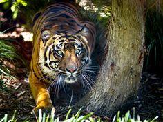 Ready to pounce!!! #TigerTrail photo by Paul E.M.