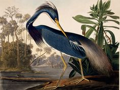 Louisiana Heron - John James Audubon www.yournestdesign.blogspot.com