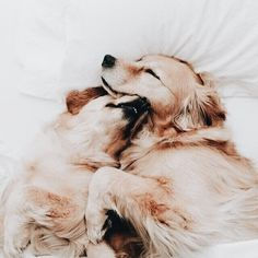 golden retriever best friends