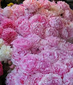 An incredible bed of peonies!