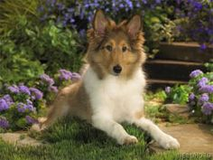 Cute Shetland Sheepdog, also known as the Sheltie Animal Shetland Sheepdog Dogs Dog Puppy Baby. The post Cute Shetland Sheepdog, also known as the Sheltie Animal Shetland Sheepdog Dogs & appeared first on Travers Rottweilers. Collie Puppies, Collie Dog, Dogs And Puppies, Doggies, Dog Pictures, Animal Pictures, Shetland Sheepdog Puppies, Dalmatian Dogs, Herding Dogs