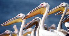 Grandes pelicanos brancos nas águas de um lago são alimentados por funcionários do parque da natureza, durante a época de migração, em Mishmar Hasharon, em Israel Imagem: Baz Ratner/Reuters