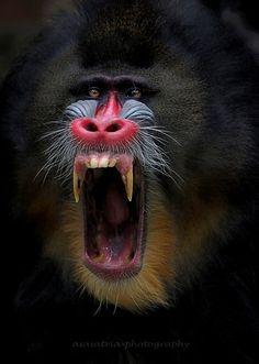 Ugly Animals, Animals And Pets, Cute Animals, Beautiful Creatures, Animals Beautiful, Mandrill Monkey, Animal Original, Tier Fotos, Wildlife Art