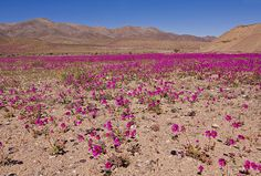 Wildflowers of the Chilean Desert.  Región de Atacama, Chile.  The blooming of the desert is a miracle of nature and is an impressive and beautiful phenomenon to take place in Chile. Hundreds of kilometers of desert, usually only sand and rocks, are transformed in a great carpet of color and life. The flowering period varies according to the characteristics of the rainfalls, but usually starts at the end of August and may last till November or even December, if these are late.