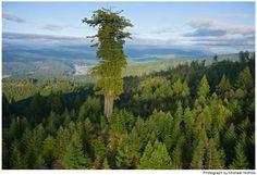 #SabíasQue… Hyperión es el #Árbol más alto del mundo, mide poco más de 115 metros de altura, pertenece a la familia de las Secuoias y se cree que tiene cerca de 800 años de antigüedad. Fue descubierto en 2006 en #California.