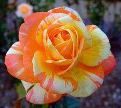 Orange, Yellow & White Rose