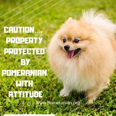 Discover Bold Pomeranian Puppy Exercise Needs Pomeranian Memes, Pomeranian Puppy For Sale, Cute Pomeranian, Siberian Husky Puppies, Siberian Huskies, Cute Funny Animals, Funny Animal Pictures, Cute Dogs, Funny Pets