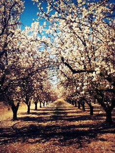 Almond blossom orchards Almond Blossom, Orchards, Room Paint, Almonds, Painting Inspiration, Blossoms, Flora, Dining Room, Trees