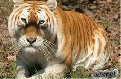 Tigre Dorado.
