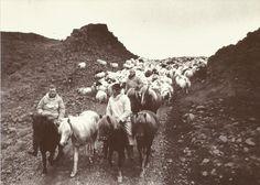 Iceland_Postcard_Sheep_grande.jpeg (600×428)
