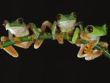 Red-Eyed Tree Frog (Agalychnis Callidryas) Sitting on a Stem, Soberania National Park, Panama Photographic Print by Christian Ziegler/Minden Pictures