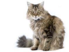 Die RagaMuffin, eine ausgesprochen freundliche Katze, die sich auch in der Wohnung wohlfühlt — Bild: Shutterstock / Scampi    www.einfachtierisch.de