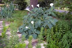 Datura wrightii (jimsonweed) is lovely, perennial, xeric and native. what's not to love?