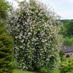 Paul's Himalayan Musk - Arne Maynard: 'R. helenae hangs in veils, while R. 'Paul's Himalayan Musk' is a fountain of flower in the old apple tree at Guanock House.