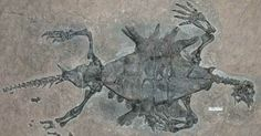 Fossils reveal how the turtle got its shell http://www.guardian.co.uk/science/2008/nov/26/earliest-turtle-fossil-shell #article