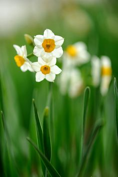 Tazetta narcissus By myu-myu