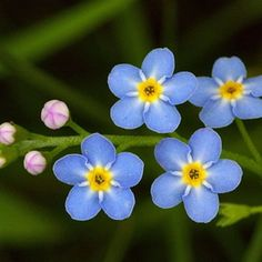 Forget-Me-Not - Forget me not