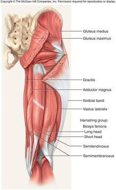 Anterior hip & thigh muscles (and other anatomy as well) | Health ...