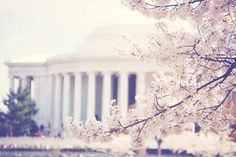 d.c. during cherry blossom 'season'. absolutely beautiful.