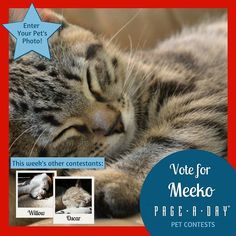 Meeko is a spunky kitten with a dog-like purr-sonality. His motto is play hard sleep hard; he loves to romp around with his toys but he equally loves sleepy cuddles. Just be sure to not wake him up or youll be met with a cranky meow! Vote right meow! http://ift.tt/1P29vGs #365Cats #petsofpageaday #CatsofInstagram #Catstagram #Cat #Kitty #InstaCat #Instagood #InstaPet #PetLovers #ilovemycat #crazycatlady #mycat #cutecat #catlover #catoftheday #petcontest #photocontest #contest #catcontest