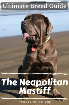 Top 5 Heaviest Dog Breeds Breed Neapolitan Mastiff: Neapolitan Mastiffs are very large dogs in the range. They, like all other mastiff breeds, are wonderful companions, if you can sta… Giant Dog Breeds, Giant Dogs, Large Dog Breeds, Mastiff Breeds, Mastiff Dogs, English Mastiff Puppies, Cute Puppies, Cute Dogs, Dogs And Puppies