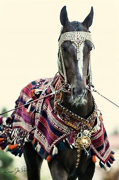 Akhal-Teke on the Day of the Horse in Turkmenistan. With traditional attire.