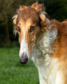 Greyhound Gardens – Borzoi horrors